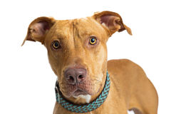 Closeup Large Brown Dog Staring Into Camera Royalty Free Stock Photos