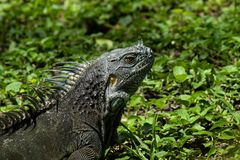 Closeup of Large Brown and Green Iguana Walking in Grass on Sunny Day royalty free stock images