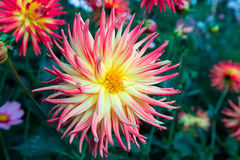 Closeup of a large dahlia flower. Royalty Free Stock Photo