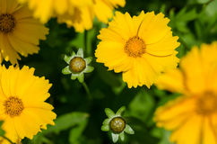 Closeup of  large-flowered tickseed (Coreopsis grandiflora) Royalty Free Stock Photography