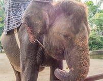 Closeup of large gray elephant Royalty Free Stock Image