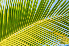 Closeup of a large green palm leaf Stock Images
