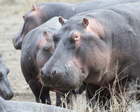Closeup of large hippo head standing on land Stock Photos