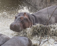 Closeup of large hippo partially submerged in water after crashing into the river from land. Closeup of a single large hippo partially submerged in water after Stock Image