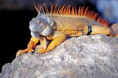 Closeup of large iguana Royalty Free Stock Photo