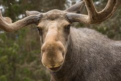 Closeup of a large male moose looking into the camera. Closeup of a large male moose buck standing in the forest looking in to the camera Royalty Free Stock Photo