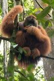 Critically endangered maleSumatran orangutan Pongo abelii in a tree in Gunung Leuser National Park in northern Sumatra, Indonesia. Closeup of large male Royalty Free Stock Photo