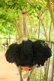 Closeup Large Ostrich Head with Open Beak at Trees. Closeup large colorful ostrich head with open beak and neck against plants in tropical park in Asia Stock Images