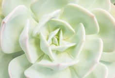 Closeup of large rosette of light green succulent leaves tipped. With reddish edges and soft thorns stock photography
