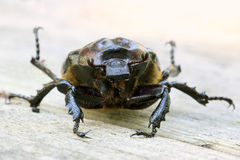 Closeup of Large Scarab Beetle Royalty Free Stock Images