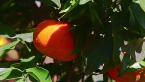 Closeup Large Single Mandarin in Green Tree Leaves. Closeup macro large single mandarin fruit among green leaves in tree before Vietnamese new year TET at bright