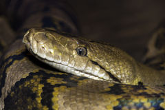 Closeup of large snake with detail of eye and mouth Stock Image
