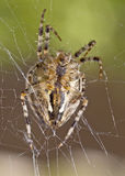 Closeup of large spider Stock Photography