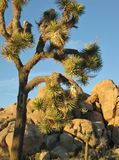Closeup of large, tall Joshua tree against a blue desert sky with backdrop of ancient granite boulders Royalty Free Stock Image