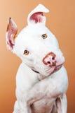 Closeup Large White Dog Tilting Head Stock Images