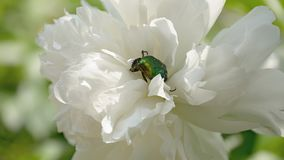 Closeup large white flower with green beetle. Closeup of a flowering large white peony flower in sunny June. Green beetle Cetonia covered head with paws. Format stock images