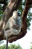 Closeup of Large White Monkey in Tree royalty free stock image
