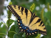 Closeup of a large Yellow Tiger Swallowtail Butterfly. In a Chinese Tallow tree royalty free stock photo