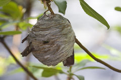 Closeup of large yellowjacket wasp nest Royalty Free Stock Photo