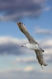 Closeup of larus argentatus in flight Royalty Free Stock Images