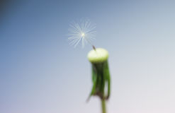 Closeup last dandelion seed Royalty Free Stock Photography