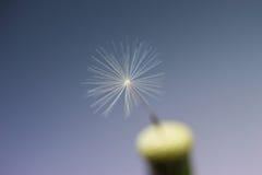Closeup last dandelion seed Stock Photo