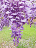 Closeup of Lavander Wisteria Blossoms Royalty Free Stock Photos