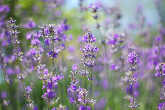 Closeup of lavender bushes. Gloss over the purple flowers of lav Stock Photo