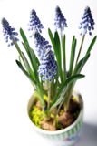 Closeup of lavender in a colorful pot Royalty Free Stock Images