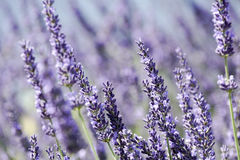 Closeup of lavender Royalty Free Stock Images