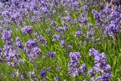 Closeup of lavender field Stock Image