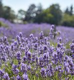 Lavender detail royalty free stock photography