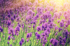 Closeup of lavender field royalty free stock photography