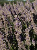 Closeup of Lavender flower Royalty Free Stock Photo