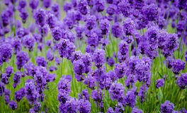 Closeup of lavender flowers. Closeup of vivid purple lavender florets in a field of lavender plants Royalty Free Stock Image