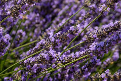 Closeup of lavender flowers Stock Image