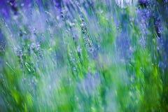 Closeup of lavender flowers background. Close up of lavender flowers background Stock Photo