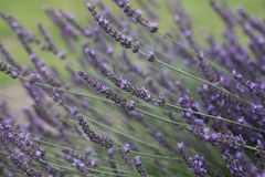 Violet lavender flowers in bloom royalty free stock image