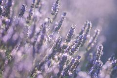 Lavender flowers in bloom Stock Images
