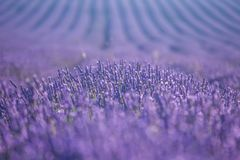 Lavender flowers in bloom Royalty Free Stock Images