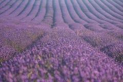 Lavender flowers in bloom Stock Photos