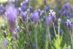 Closeup on lavender Stock Photo
