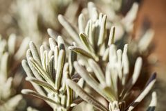 Closeup, lavender leaves in the garden, Lavandula angustifolia. Herbal medicine royalty free stock images