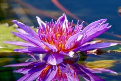 Egyptian Lotus Flower and reflection in pond royalty free stock image
