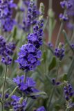 Closeup of a lavender plant. In bloom royalty free stock photography