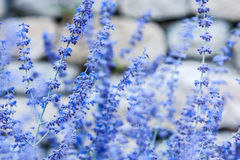 Closeup of lavender Stock Photography