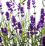Closeup of lavender Royalty Free Stock Photography