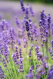 Closeup of lavender, purple tone sunlight. Fabulous magical artistic image of dream, copy space. royalty free stock photography