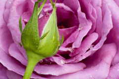 Closeup lavender rose and bud. Royalty Free Stock Image