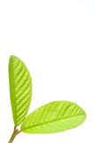 Closeup of leaf. On white background Royalty Free Stock Images